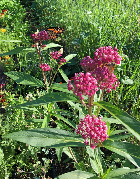 Swamp Milkweed in rich pink bloom with monarch butterfly
