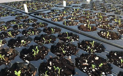 DBNUP%20blazing star seedlings cropped.p