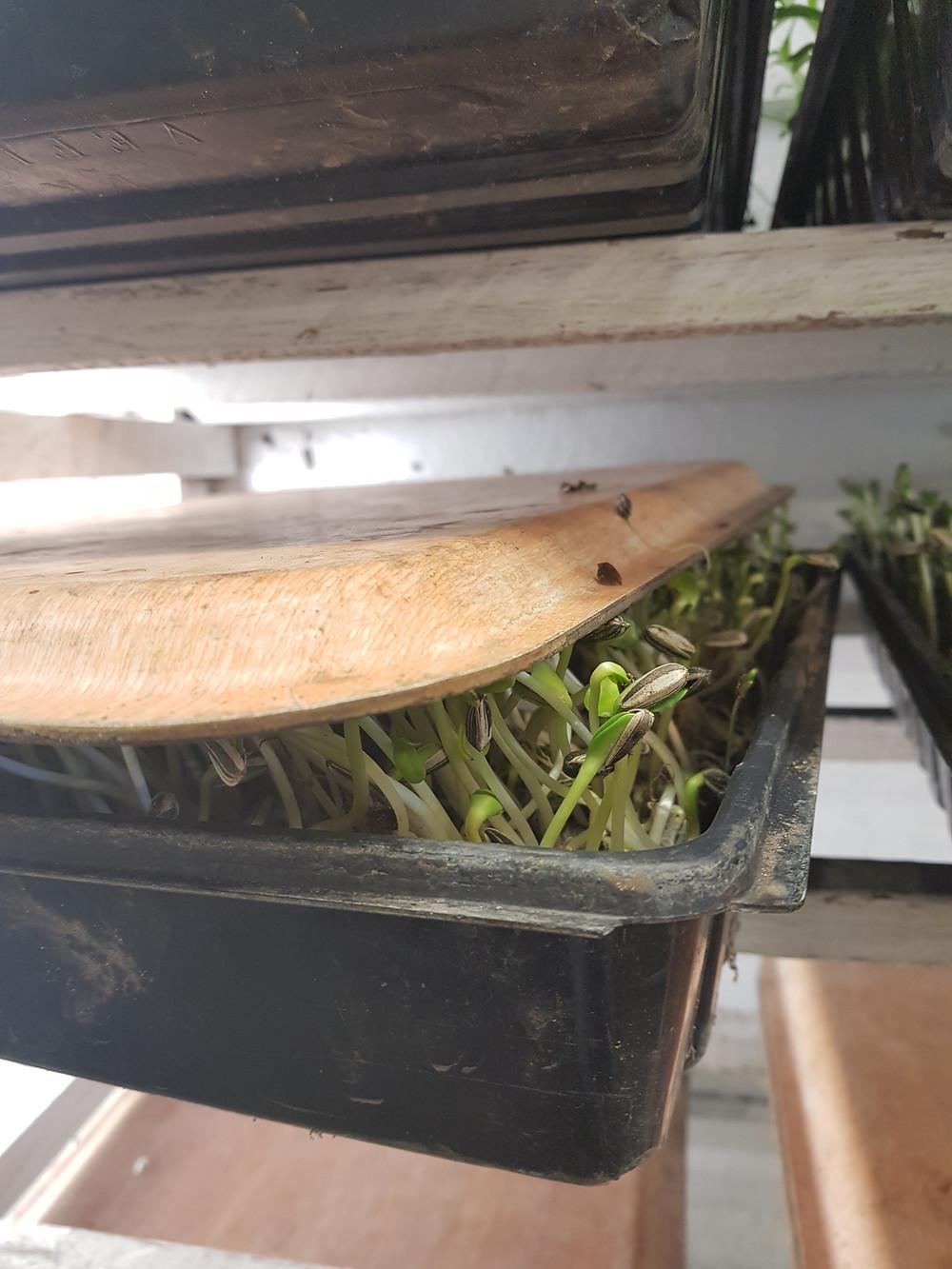 Solrosskott som odlas under tryck