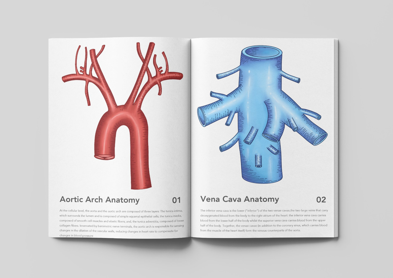Aorta Vascular Anatomy