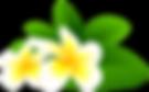 frangipanni clipart transparent backgrou