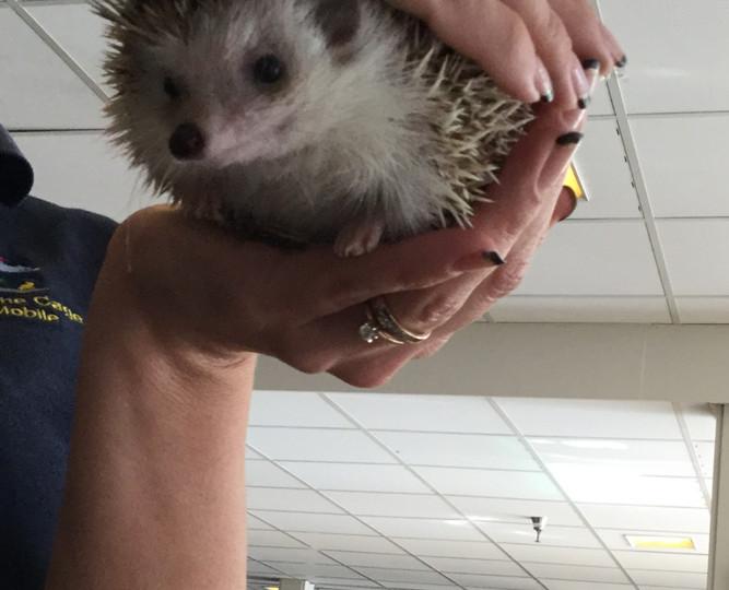 Hi Hedgehog