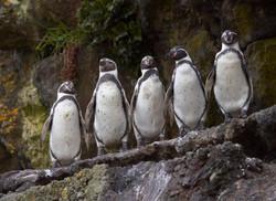 Pingüinos._©_Cristian_Larrere