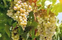 Algunas consideraciones sobre la Sauvignon Blanc