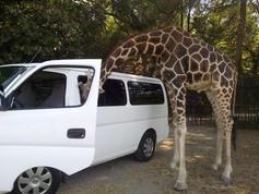 jirafa con la cabeza dentro de camioneta