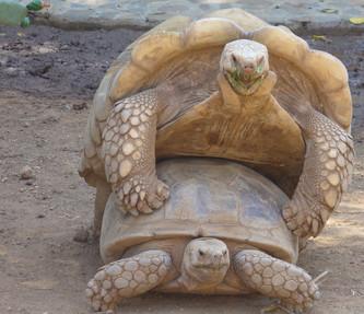 tortugas apareandose.jpg