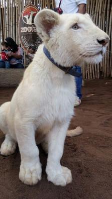 tigre blanco cachorro hermosa foto.jpg
