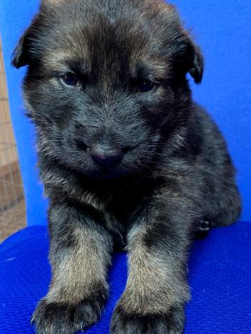 Abraxas Seahawk Puppy