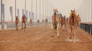 A CORRIDA DE CAMELOS  (The Camel Race)  Isabelle Carbonell, EUA, 2018, 23 min.  Uma experiência sensorial mais que humana e animal em quatro tomadas do esporte de corridas de camelo no Qatar, completo com robôs jóqueis.  DATAS E HORÁRIOS DE EXIBIÇÃO - CINEMATECA DO MAM  12/07 - 20h 21/07 - 16H15  SESC MADUREIRA 30/07 - 15H