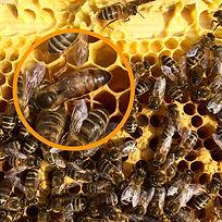 Bienen-AG