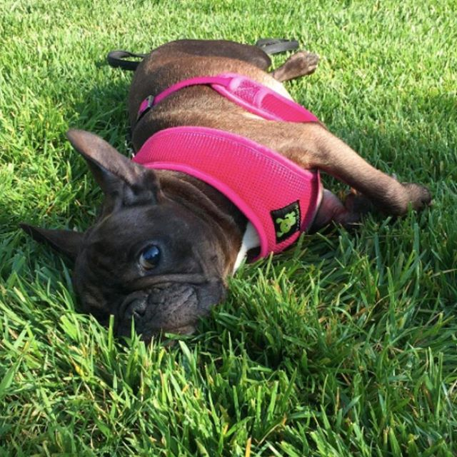 EcoBark's Frenchie Bulldog in Pink