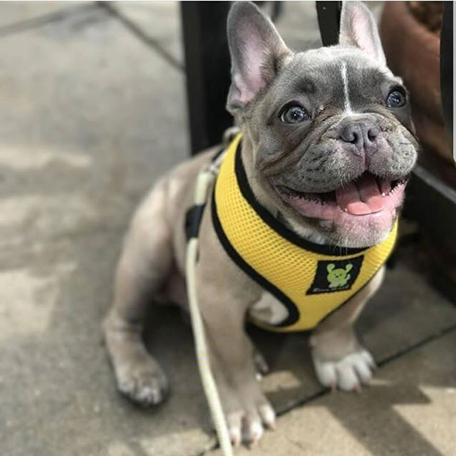 EcoBark Frenchie Bulldog in Yellow