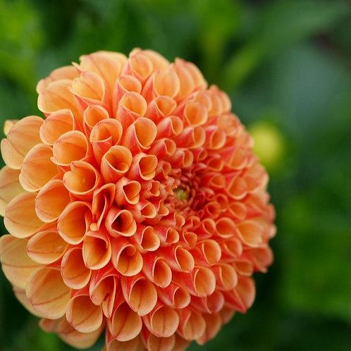 'Amber Queen' Dahlia