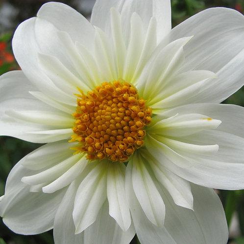 'Alpen Cherub' Dahlia