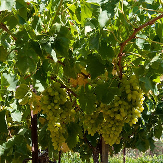 Crete_HeraklionAstrakoi_Vines_8974_photo