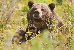 Search for the sacred grizzly in Yellowstone with Go Native America