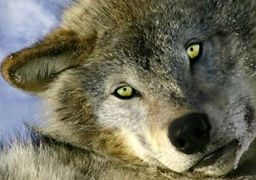 Learn the meaning of the Wolf to Native Americans