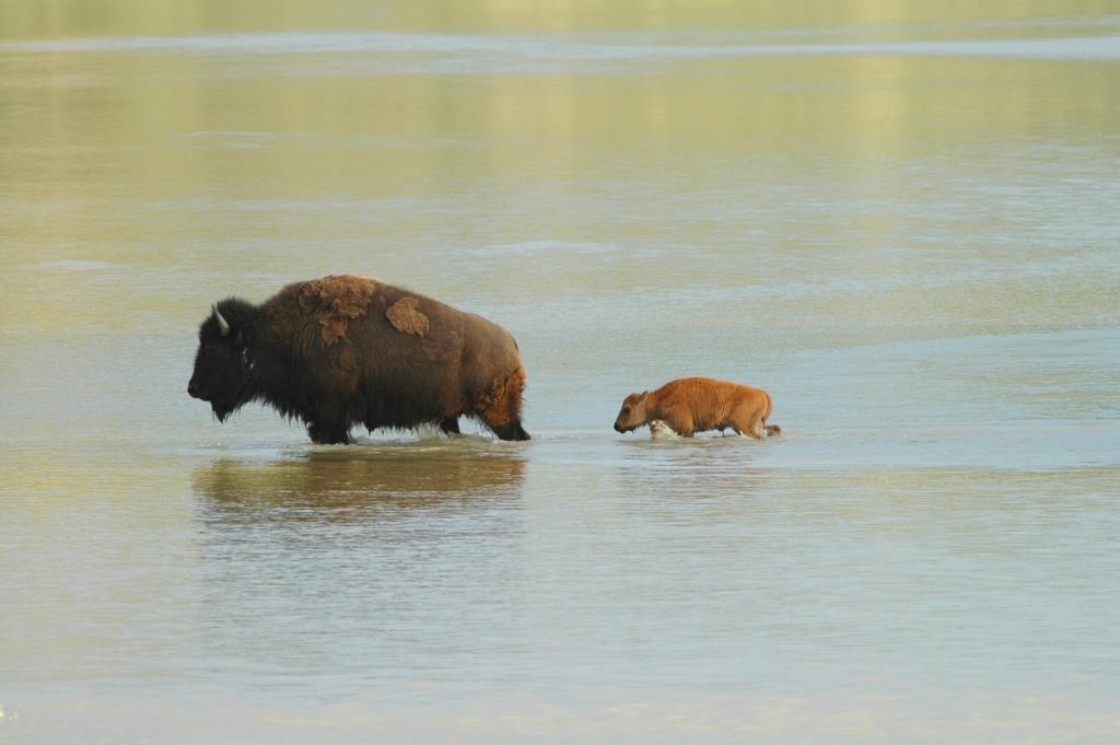 Native American Yellowstone Buffalo