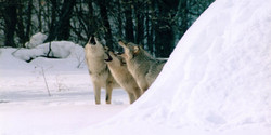 Winter Wolf Song - March 2019