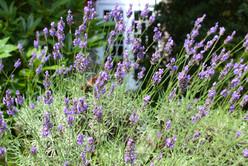 咲き誇る花の西洋館ガーデンのラベンダー