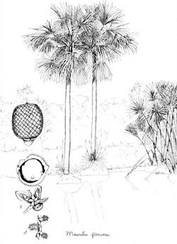 Mauritia flexuosa_baja178