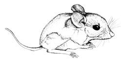 Florida mouse (Podothys floridanus)