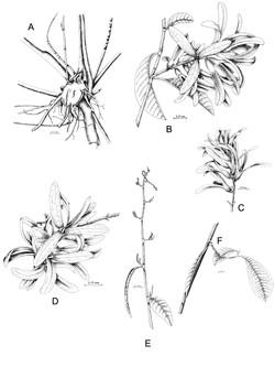 Magoniella sp. nov. 2