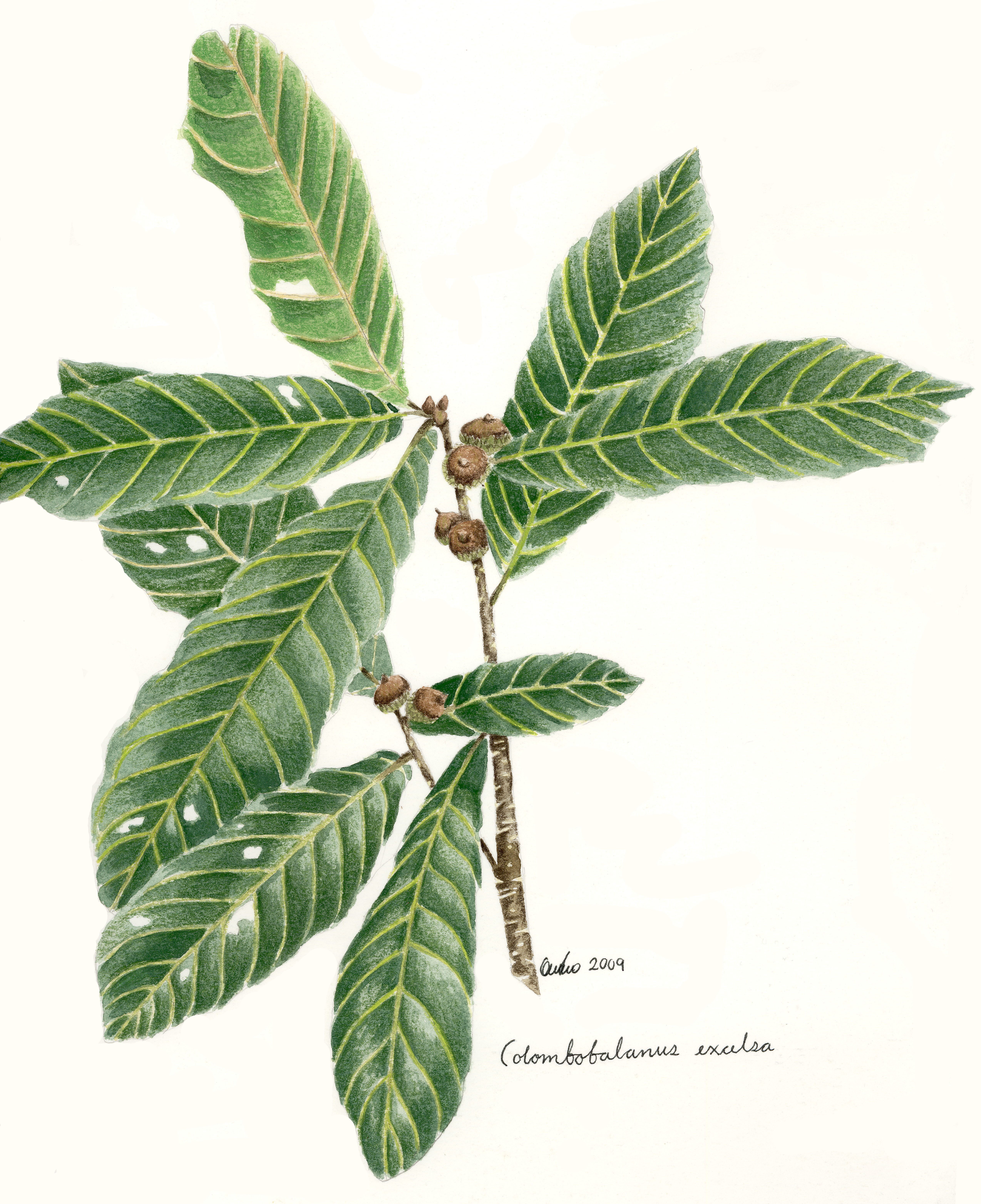 Colombobalanus excelsa