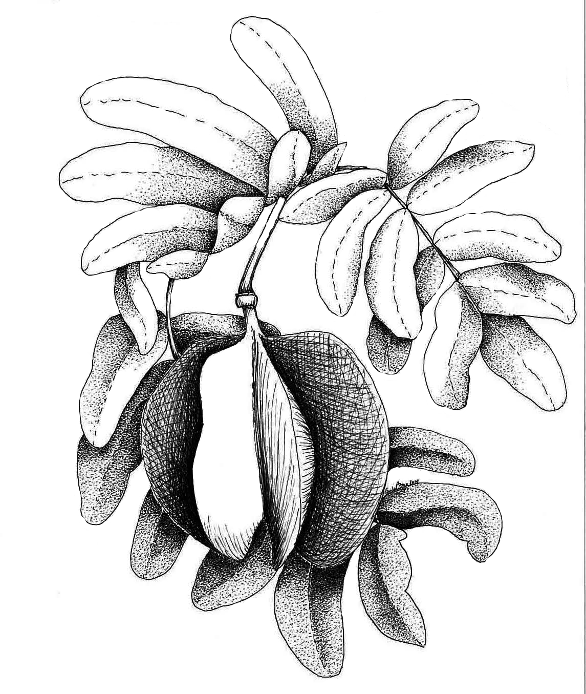 Bulsera arborea