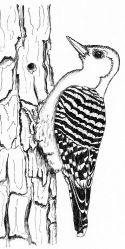 Red-bellied woodpecker (Melanerper carolinus)