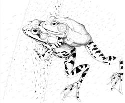 Amplexus American Toad