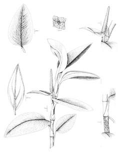 Anthurium spp. nov.1