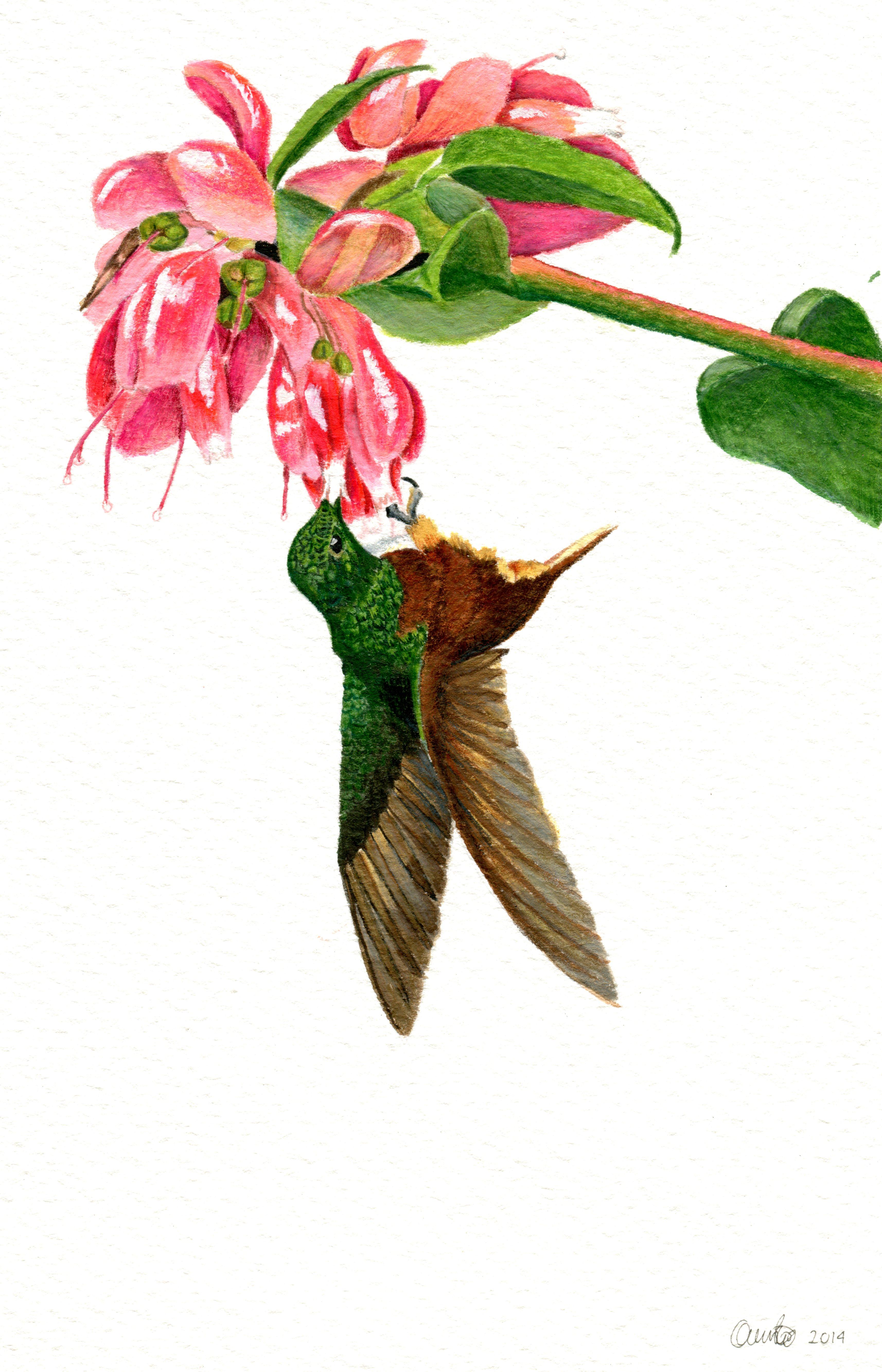 Ericaceae_y_colibrí