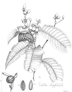 Trichilia oligofoliolata