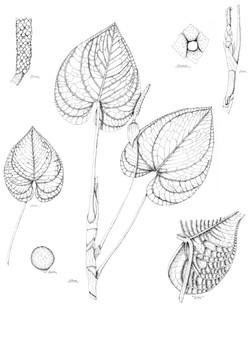 Anthurium spp. nov 2