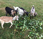 Goats Lucy Rosie Ruby Adelaide Bella.jpe