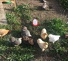 Chickens Bertha Ethel Doris pass Dot Ber
