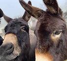 Donkeys Jan 21.jpg