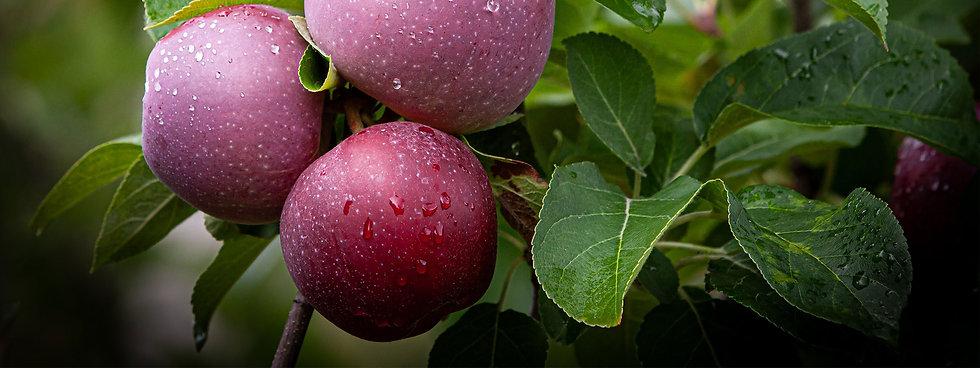 banniere-pommes.jpg