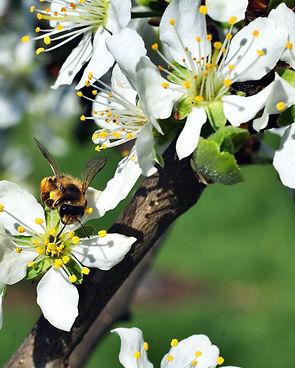 bee-bloom-blossom-162623.jpg