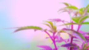 02 Fargelek_psykodelisk cannabis.jpg
