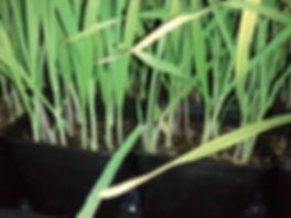 november16_2011_barley.jpg