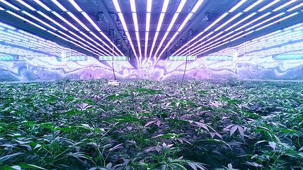 vivo mother plants with auroa.jpg