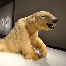 Polar bear taxidermy