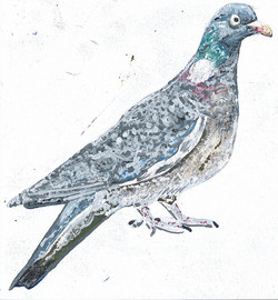 Peter the Pigeon 2015