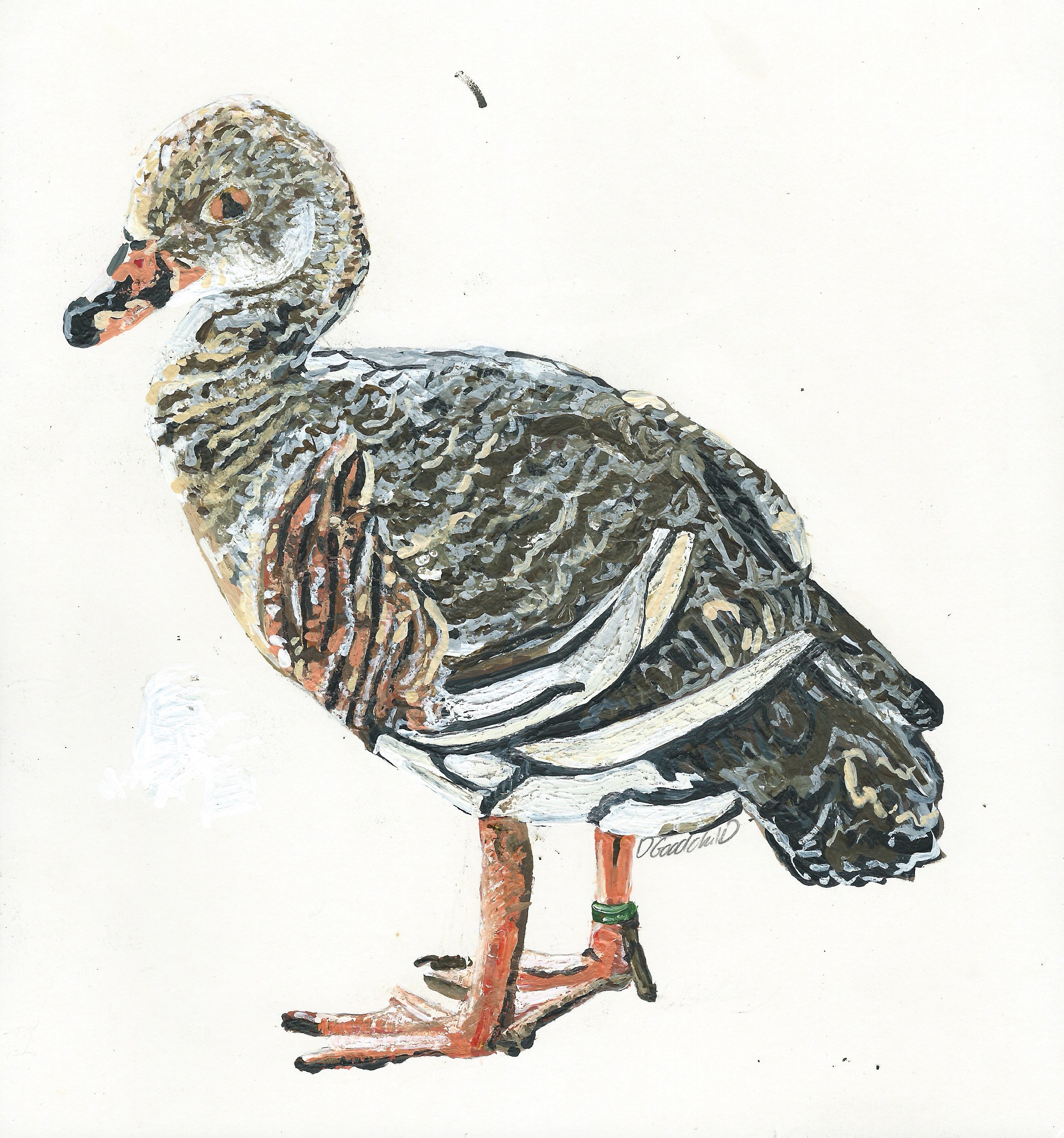 Percy-William the Plumed Whistling Duck 2016