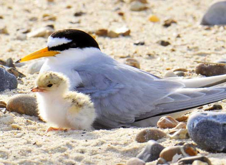 Volunteers required – protecting Little Terns on Suffolk beaches