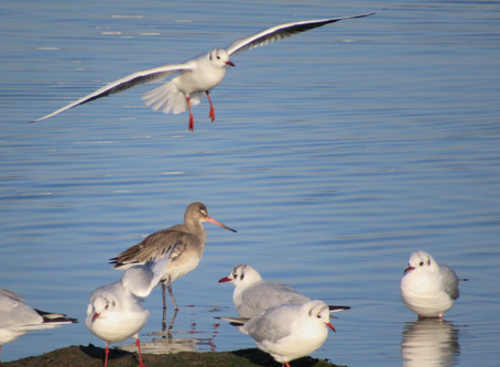 Have you seen  a colour ringed black-tailed godwit?