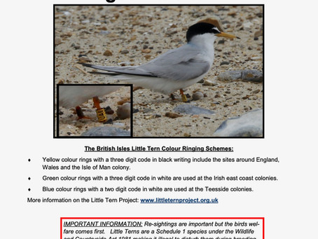 Have you see a colour ringed Little Tern?