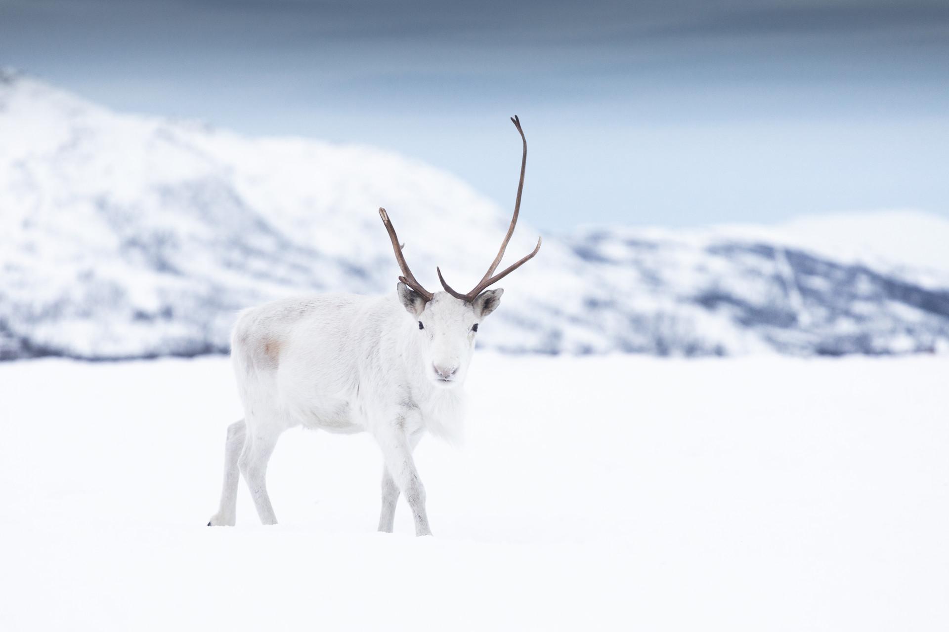 Arctic reindeer Jenni Lisacek photography Norway